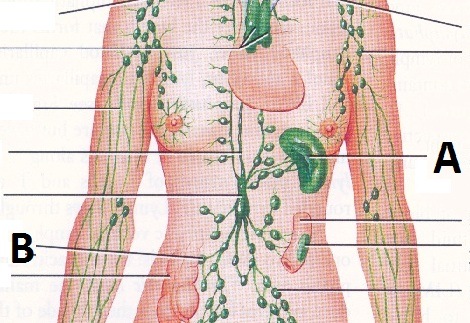 Ch 17: Lymphatic System Practice Questions - ProProfs Quiz
