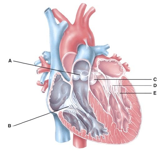 Heart anatomy questions