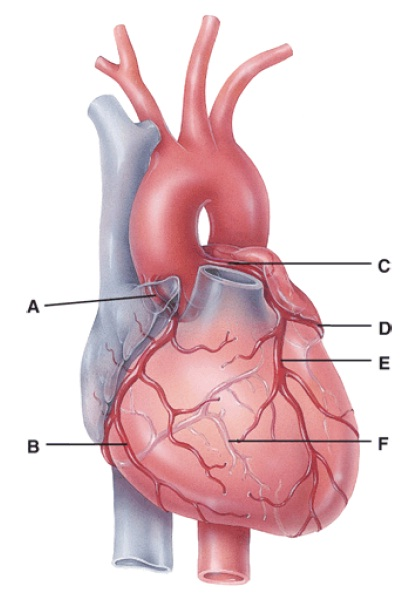 Anatomy and physiology questions the cardiovascular system the in the diagram where is the posterior interventricular branch ccuart Images