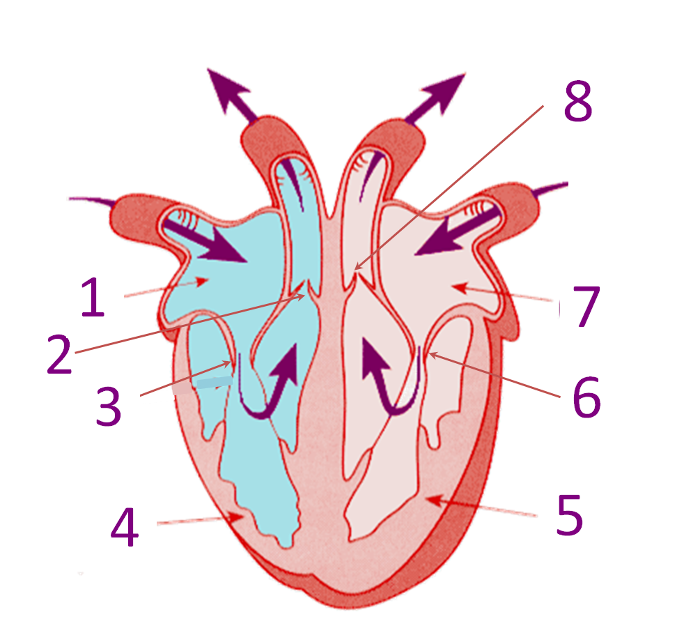 Parts Of The Heart Proprofs Quiz