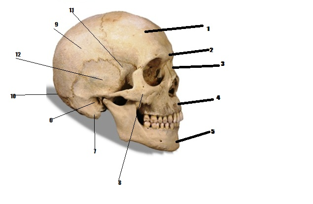 Skull Bones Diagram Test Basic Guide Wiring Diagram