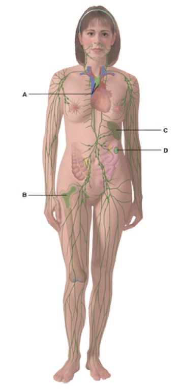 Anatomy And Physiology Questions - The Lymphatic System And Immunity