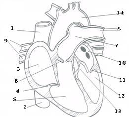 Numbered diagram of heart all kind of wiring diagrams ace exercise science test proprofs quiz rh proprofs com heart anatomy diagram heart diagram worksheet ccuart Image collections