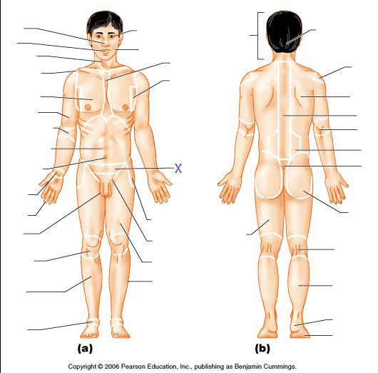 Anatomical Position Diagram Quiz Circuit Wiring And Diagram Hub