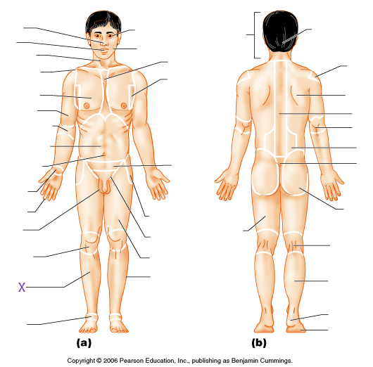 Anatomy Regional Terms Labeling Diagram - DIY Enthusiasts Wiring ...