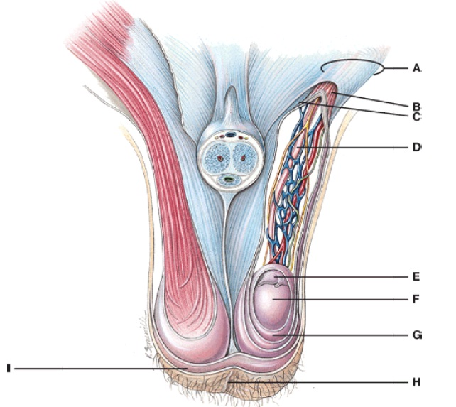 Anatomy And Physiology Questions The Reproductive System