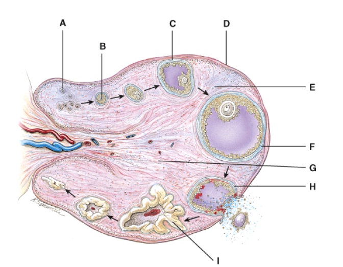 Anatomy And Physiology Questions - The Reproductive System ...