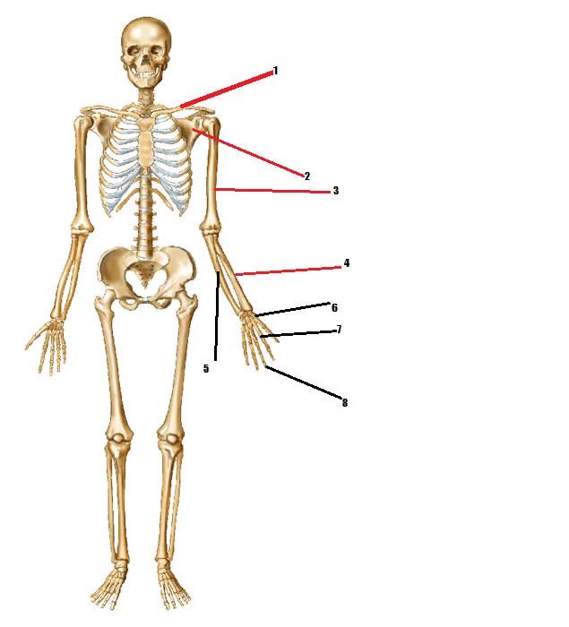 Identify Human Body Skeleton Quiz Proprofs Quiz