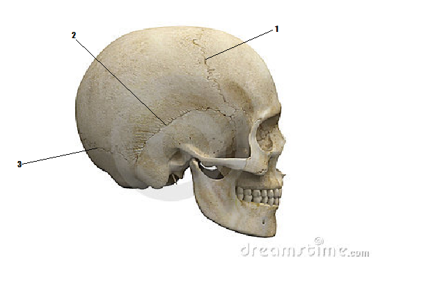 Cranial Features